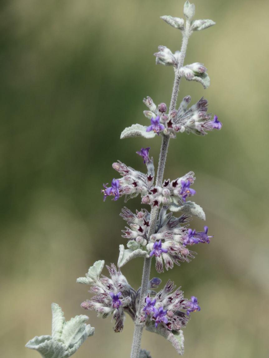 desert lavender 1