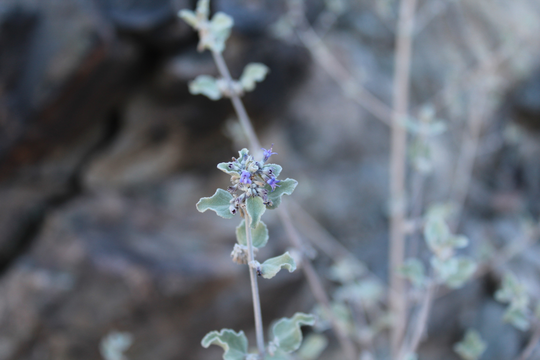 Medicinal Herb Desert Lavender Good Witches Homestead