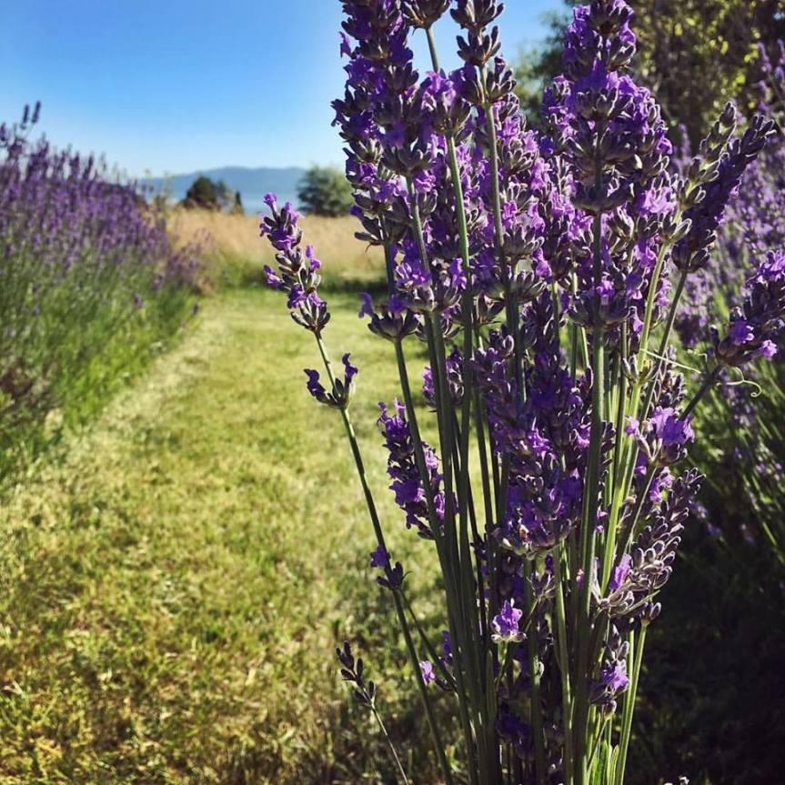 Medicinal Herb: Lavender  {Lavandula officinalis syn. L.angustifolia}