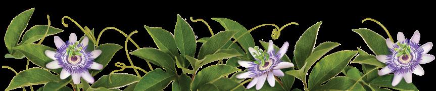 Medicinal Herb: Passiflora{Homeopathy}