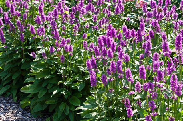 Medicinal Herbs: WoodBetony