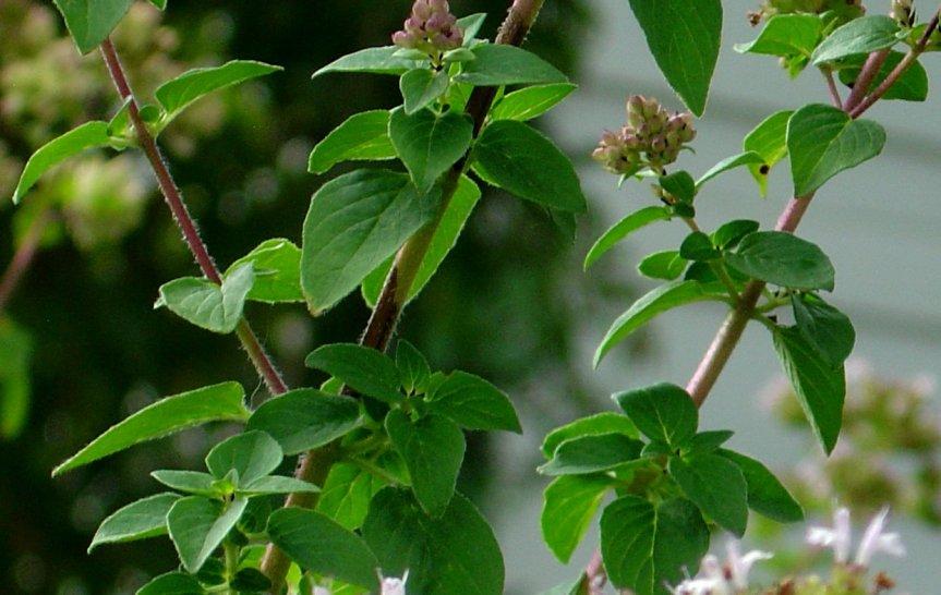 oregano_leaves