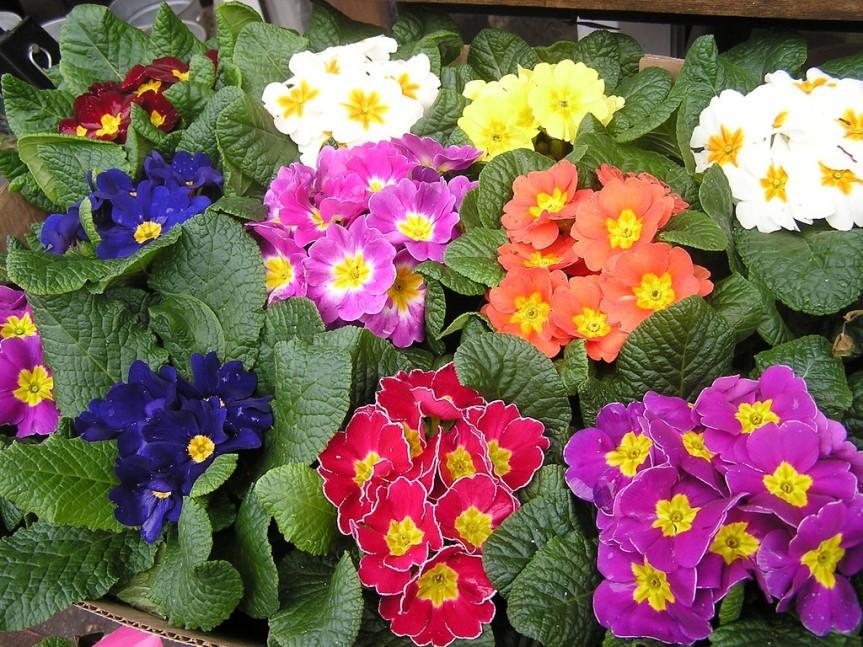 Primrose: The Flower ofFebruary