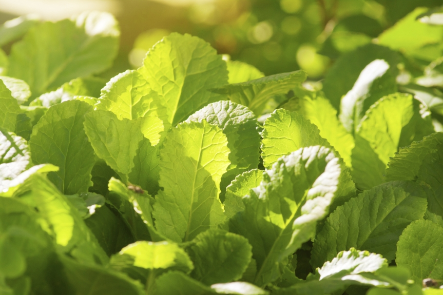 primrose-leaves