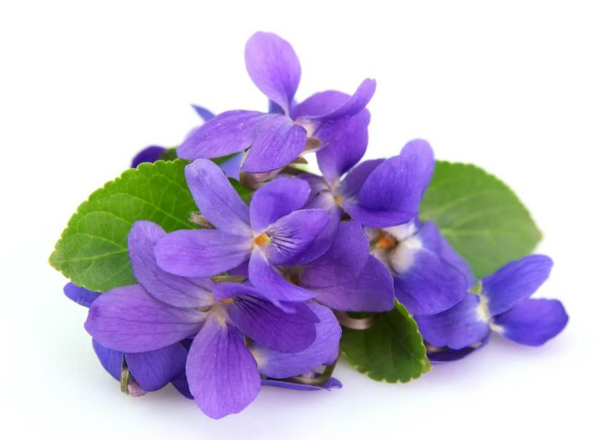 violet-leaf-essential-oil