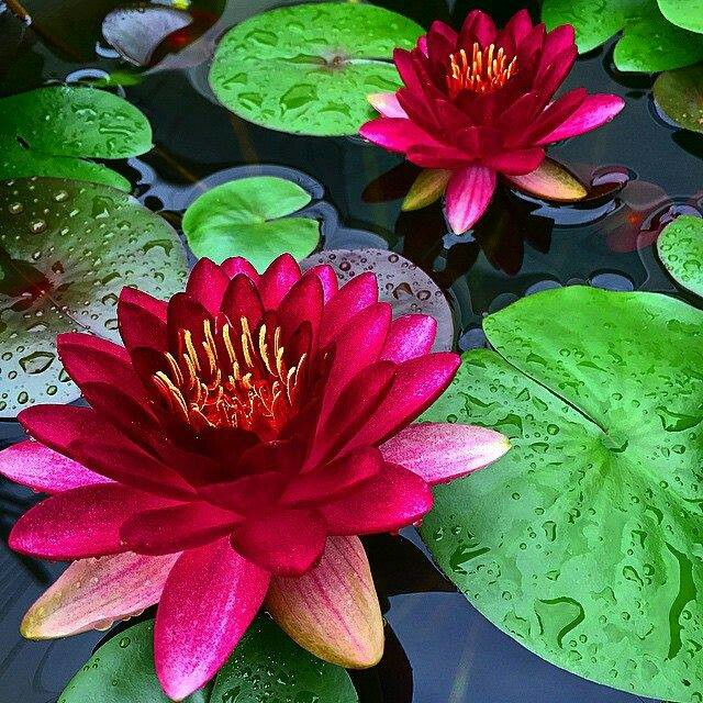 water lily kids story
