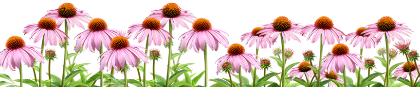 Herbal Tincture: Echinacea; A True 'Elder' Herb…