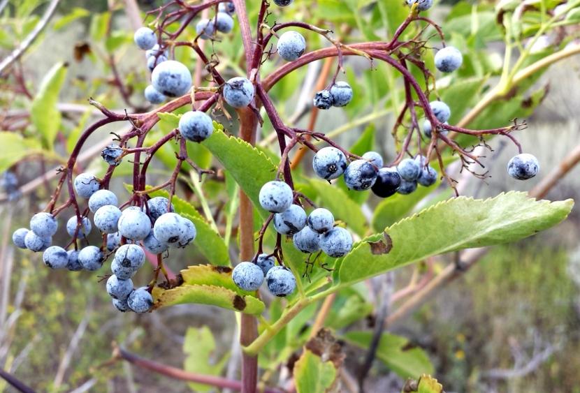 elderberries-af-canyon-3-2013-09-05