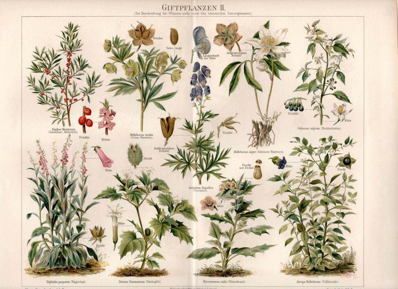 Aconitum Napellus 25 seeds BOGO 50/% off SALE Monkshood