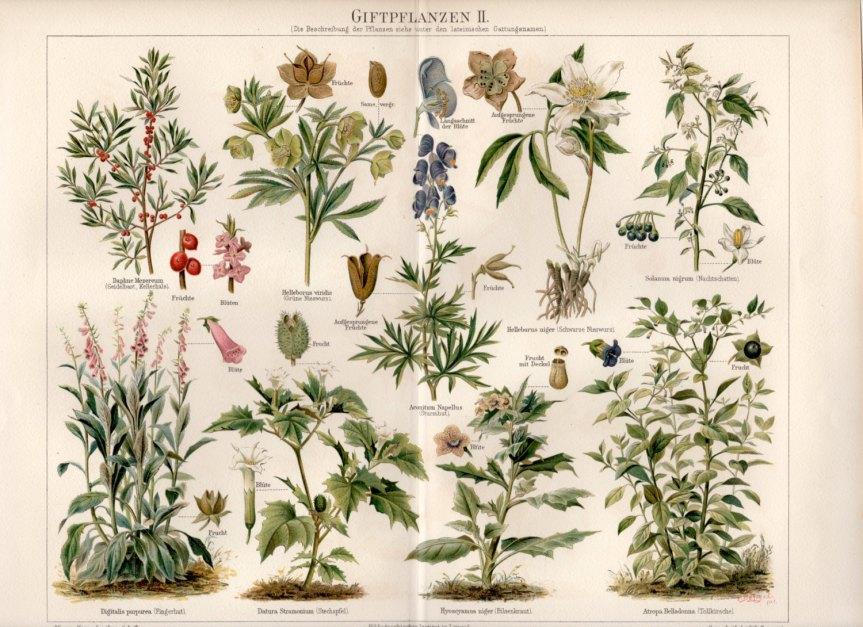 The Pernicious Diaries ~ 3 Toxic PlantLookalikes