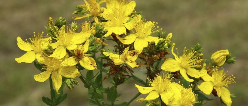 A Midsummer Herb: Saint John'sWort