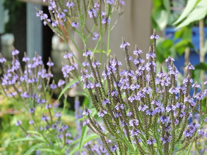 vervain blue2