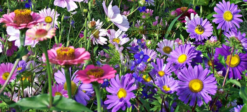 Aster is the Flower Chosen as the Floral Emblem for September.