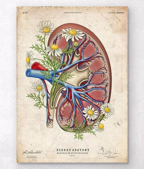 kidneys floral