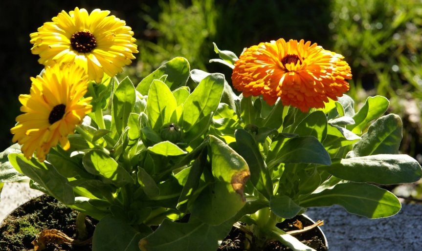 Welcome October: Calendula, October Birth~flower