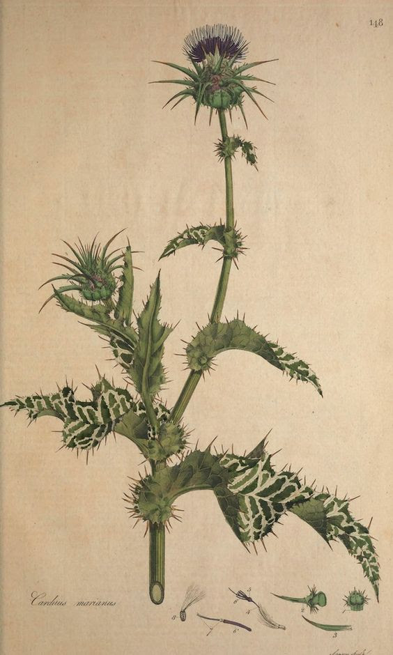 milk thistle drawing