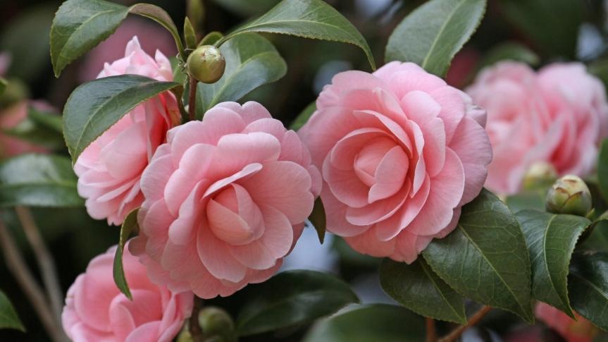 Camellia For Valentine's