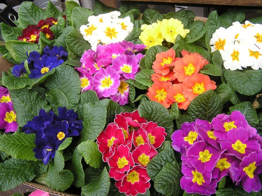 primrose-houseplants