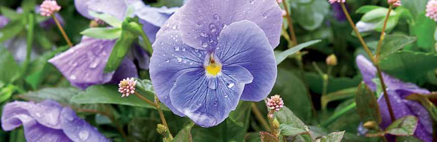 Symbolism Of Violet February Birth Flower Good Witches Homestead
