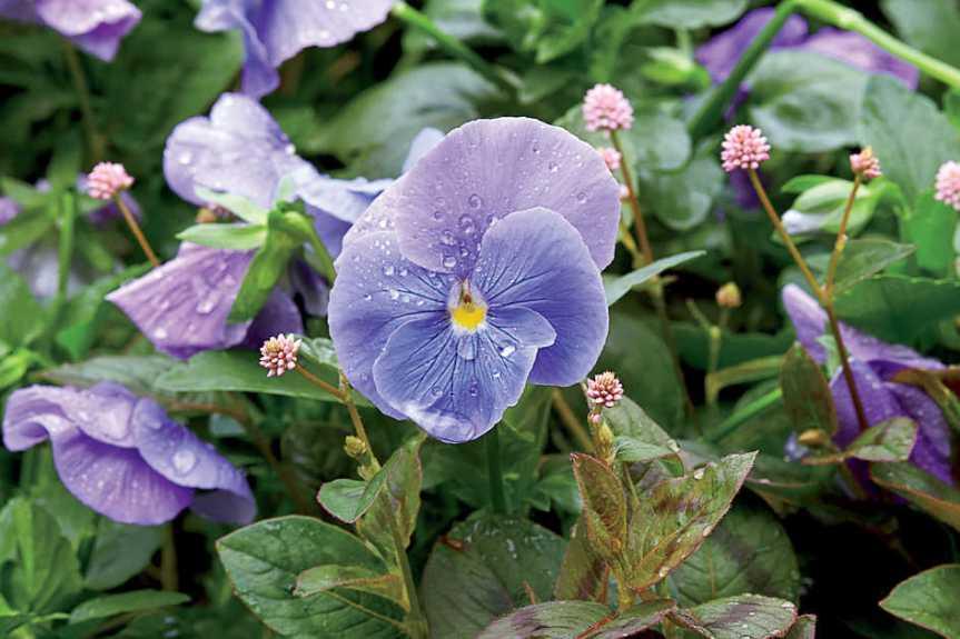Symbolism of Violet: February BirthFlower