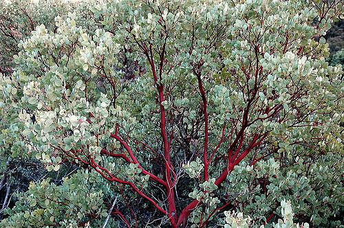 Manzanita Tree Medicine