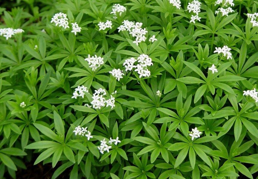 Spring Herb: Sweet Woodruff  {Asperula odorata / Galiumodoratum}