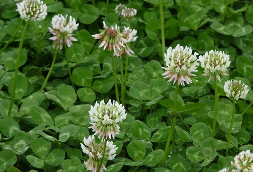 white clover1