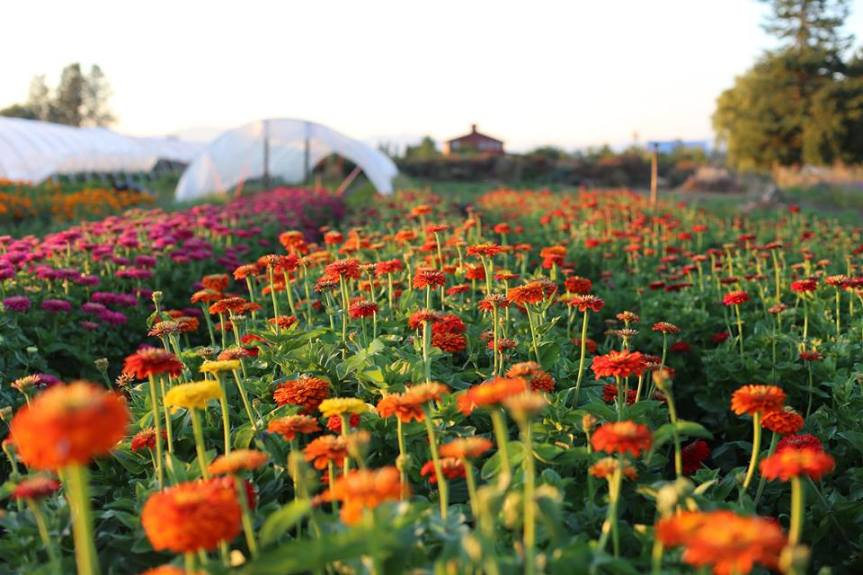Grow Great Zinnias – Floret Flowers