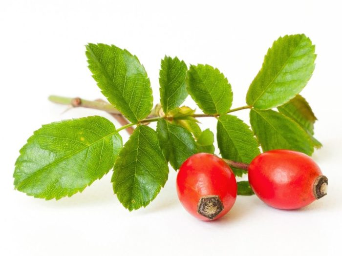 Dog Rose Hip (Rosa canina, Rosaceae)