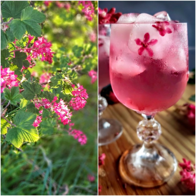 Drinking in Spring Blossoms: Red Flowering Currant Elixir – Gather Victoria