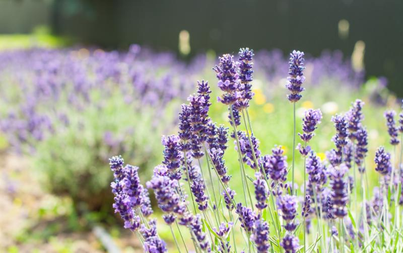 May 2019 Newsletter, The Oregon Lavender Association invites you to enjoy lavender all year round!