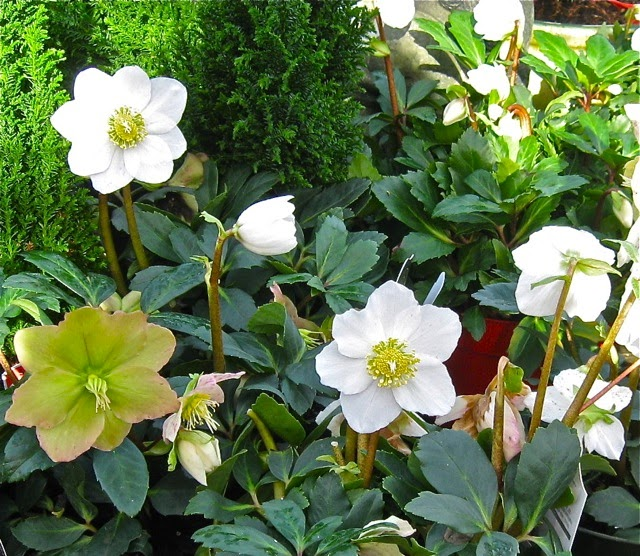 The Enchanting Hellebore