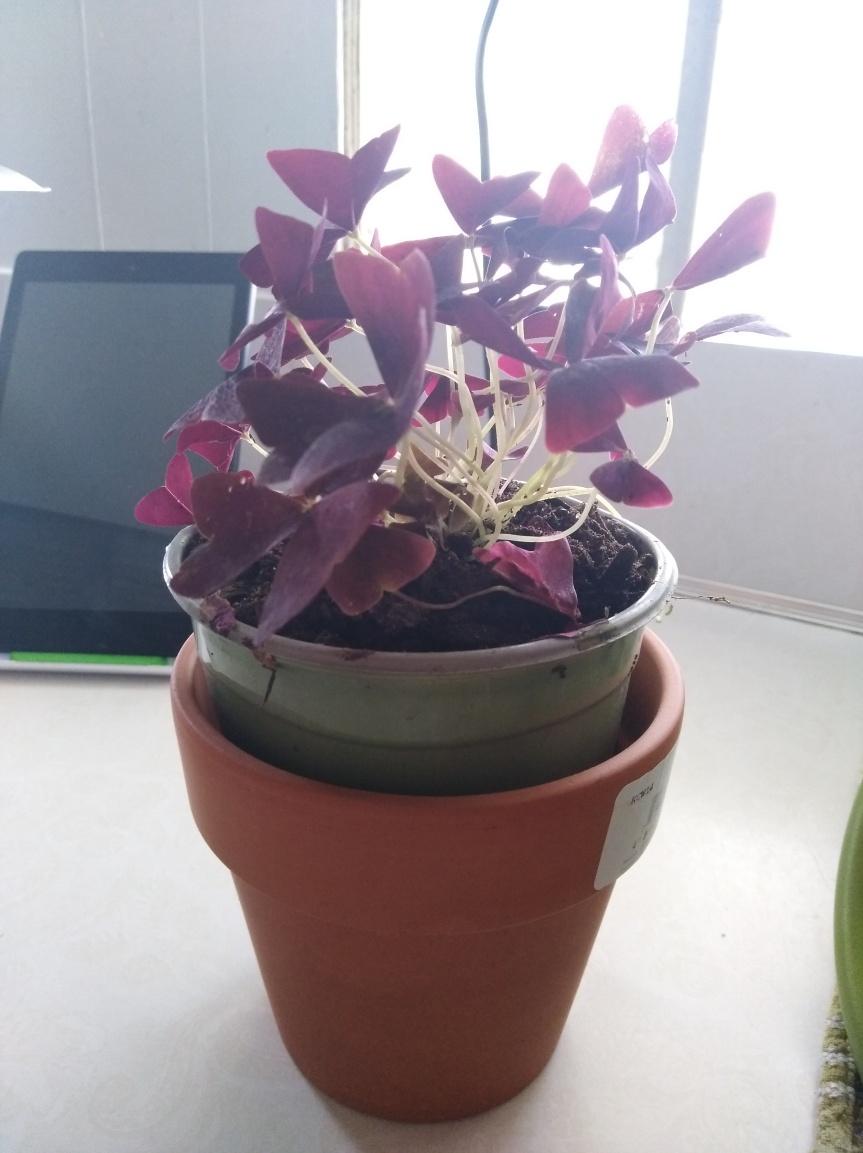 purple shamrock2