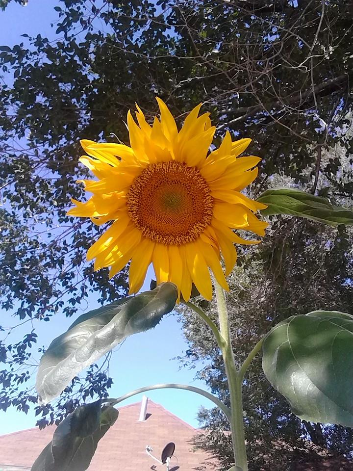 Sunflower Lore