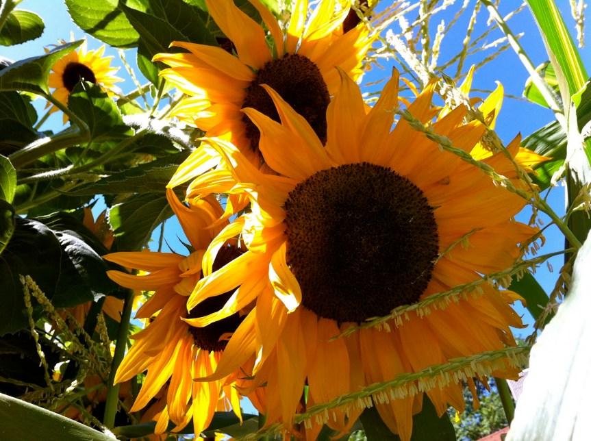 sunflowers yard