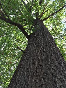 An Ancient Black Oak