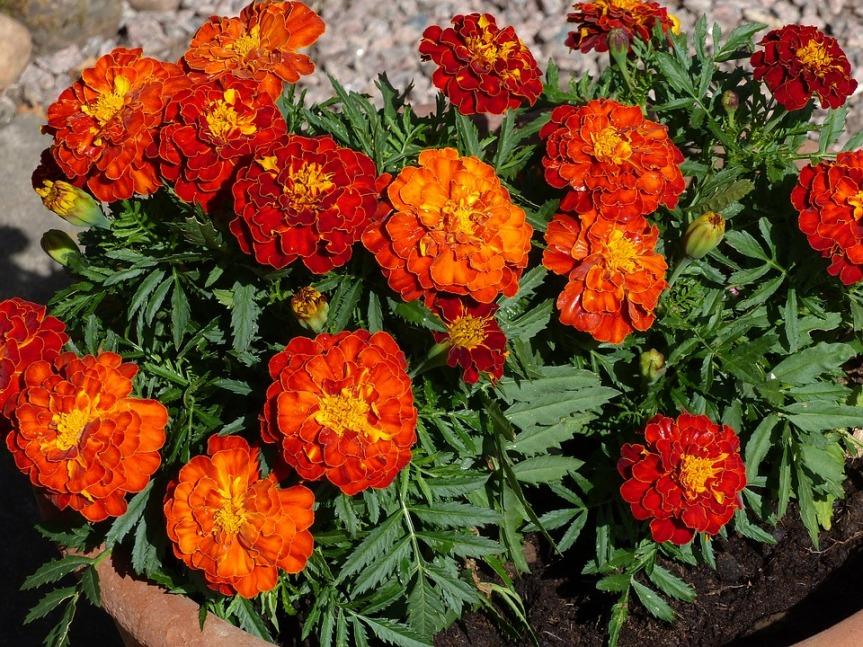 marigolds-2660010_960_720