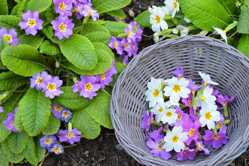 Primrose is Considered the Flower of February.