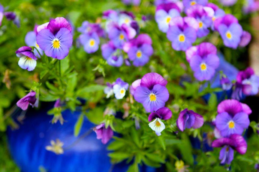 violets in pots
