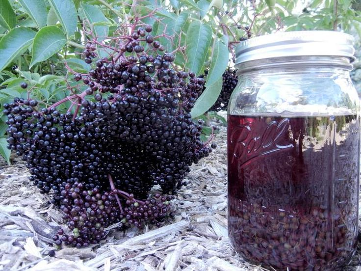 Safety Discussion: Elderberry and COVID-19 – Herbal Academy