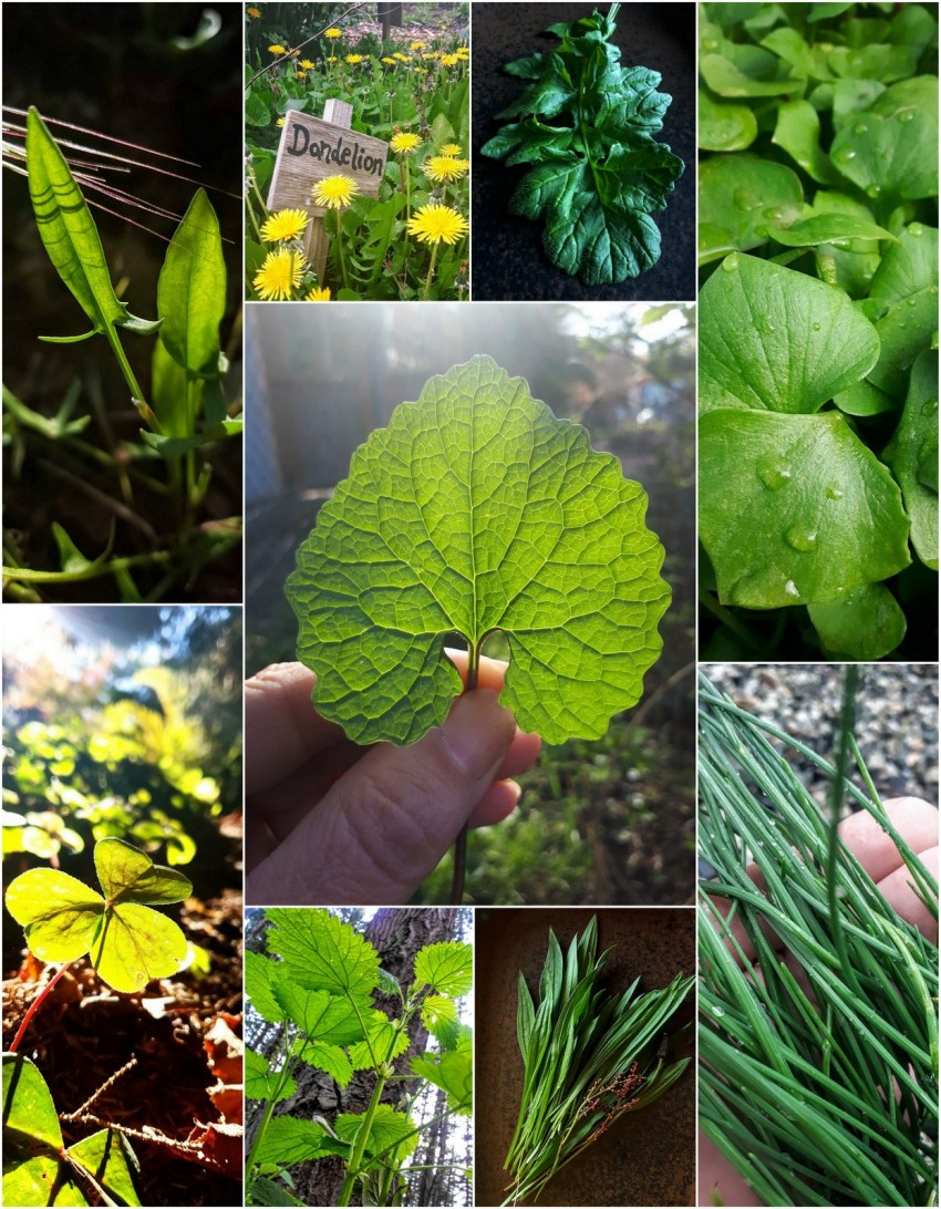 Wild Spring Greens: A Superfood Recipe Round-up! – GatherVictoria