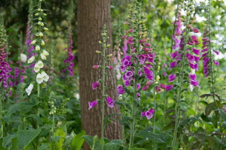 Foxglove: Digitalis and the Faery Realm | Coby Michael Ward